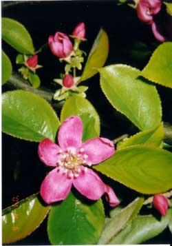 花梨(かりん)の花