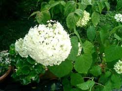 白い紫陽花をご存知ですか?