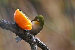 梅の木のメジロ