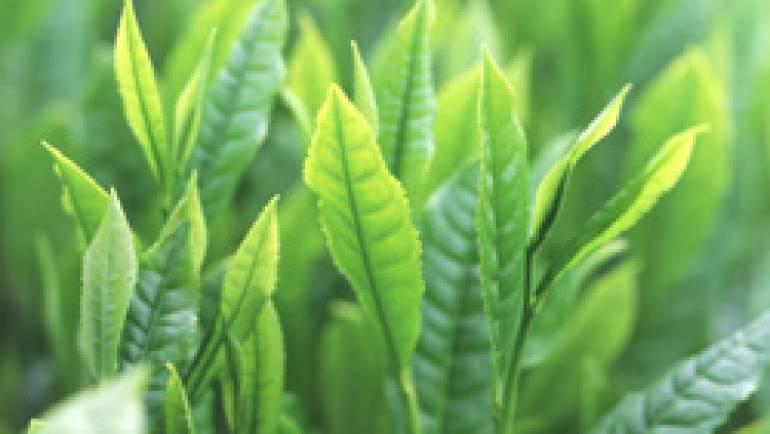 緑茶の成分、ダウン症患者の認知能力向上に効果