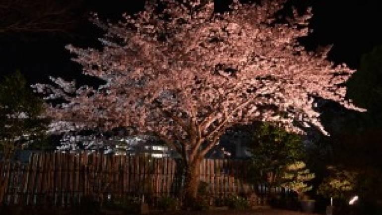 夜桜と百年桜