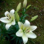 佐渡の百合が嬉野で咲きました。