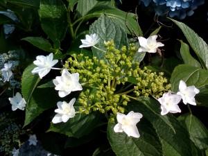 紫陽花の花に囲まれています。