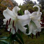 佐渡の百合が嬉野で咲きました。Ver.2
