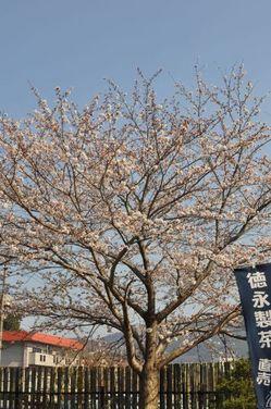 IMG_sakura2011_1-thumb-250x376-26-1.jpg