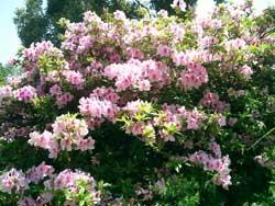 嬉野・吉田の百年桜