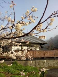 早咲きの桜が満開です。