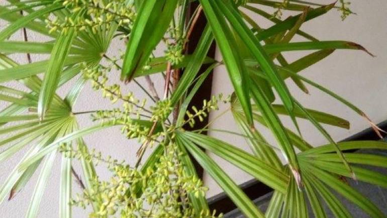 観音竹に花が咲きました。