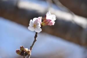 茶荘徳永 店舗前の桜