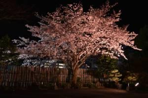 sakura 夜