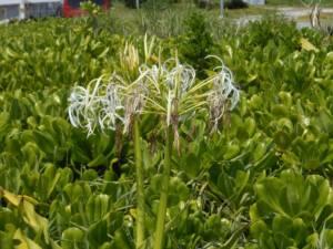 クサトベラの群生から花茎をだしたハマオモト